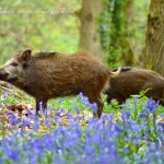 Bluebells & Boars in The Forest of Dean