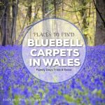 Bluebell Carpets in Wales