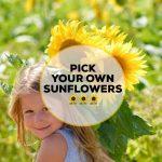 Sunflower Picking At Darts Farm